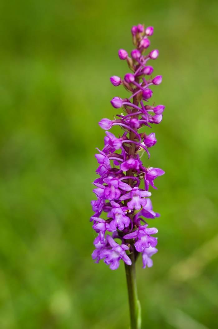 Fragrant Orchid, UK shutterstock_206380309.jpg