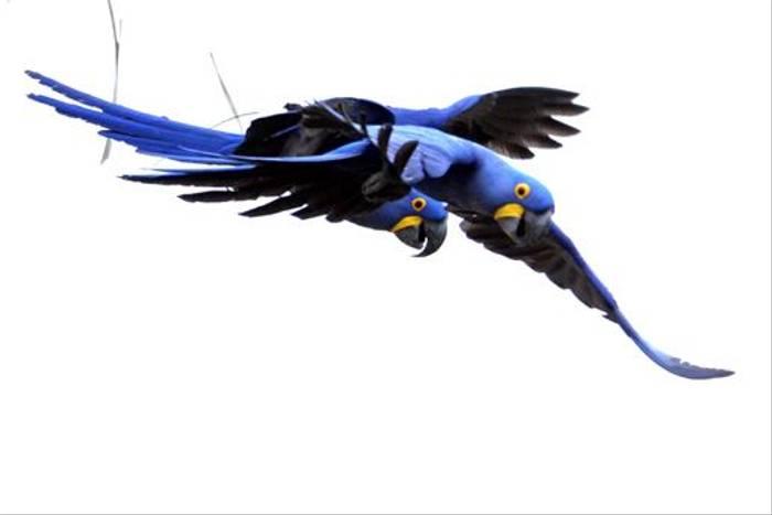 Hyacinth Macaws (Ian Bruce)