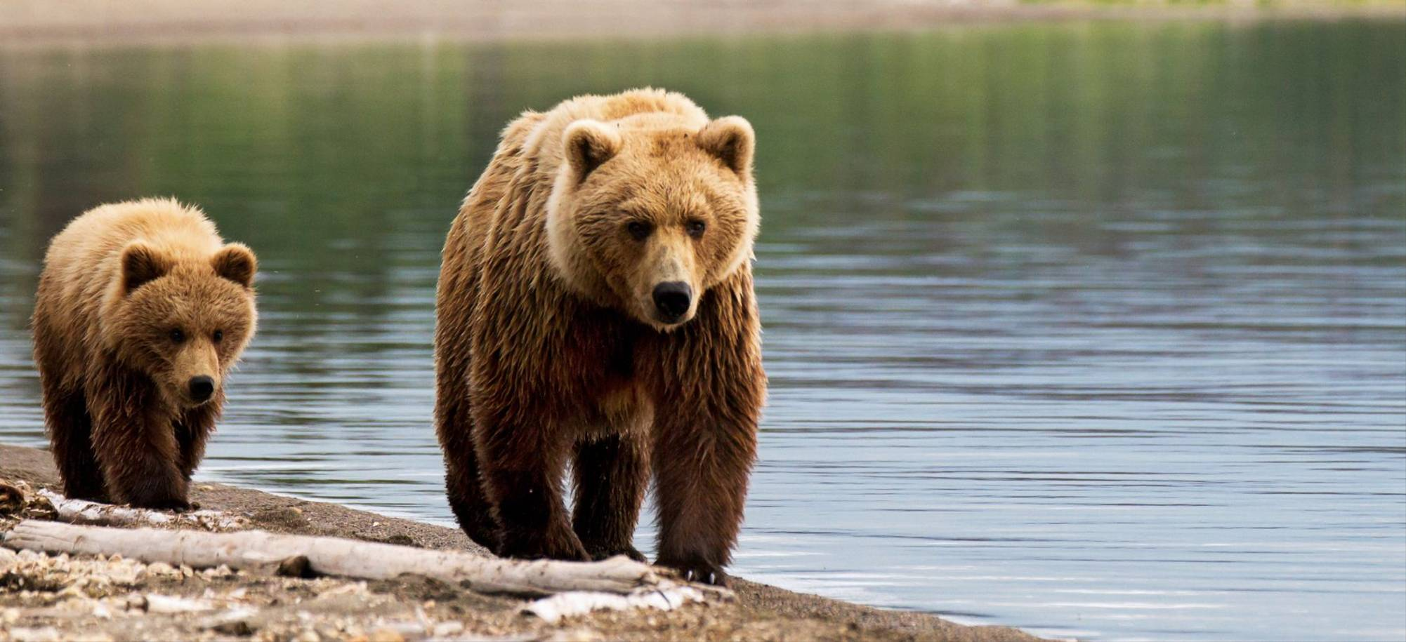 Juneau Brown Bears In Juneau   Itinerary Desktop