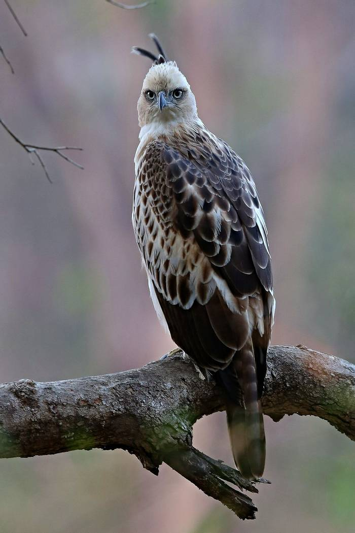 Crested Hawk-Eagle, Kaziranga, india shutterstock_658745899.jpg