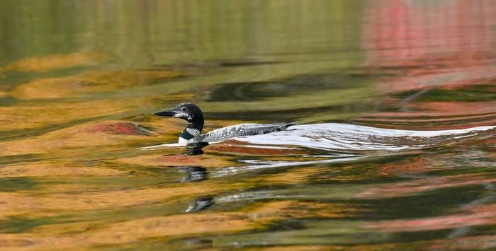 Common Loon  (Adam Dudley).jpg