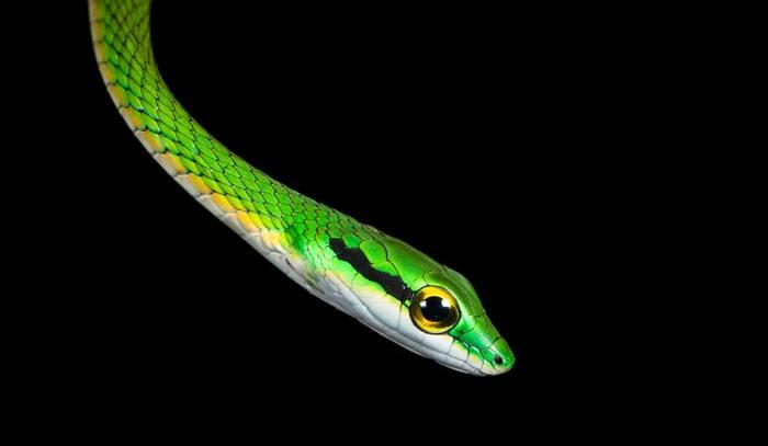 Cope's Parrot Snake (Leptophis depressirostris)