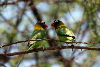 Yellow Collared Lovebirds (Karen Malte Nielsen)