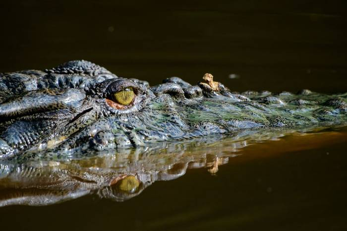 Siamese Crocodile (Trevor Platt)