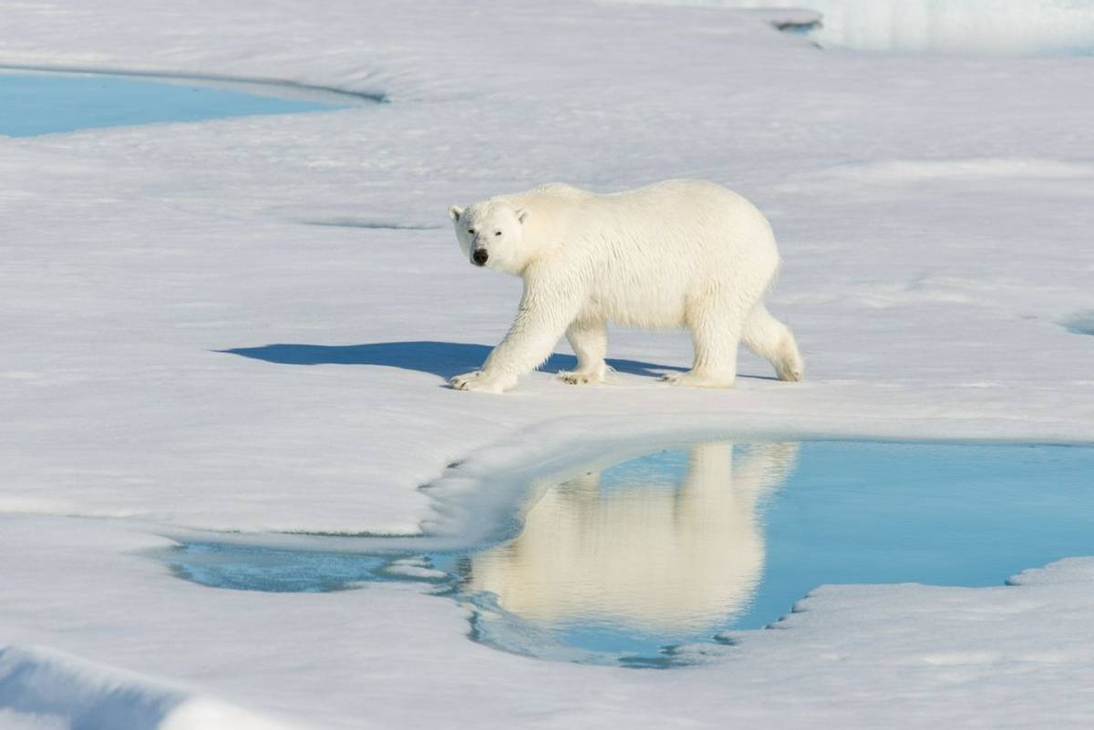 Polar Bear, Svalbard Shutterstock 1018899379