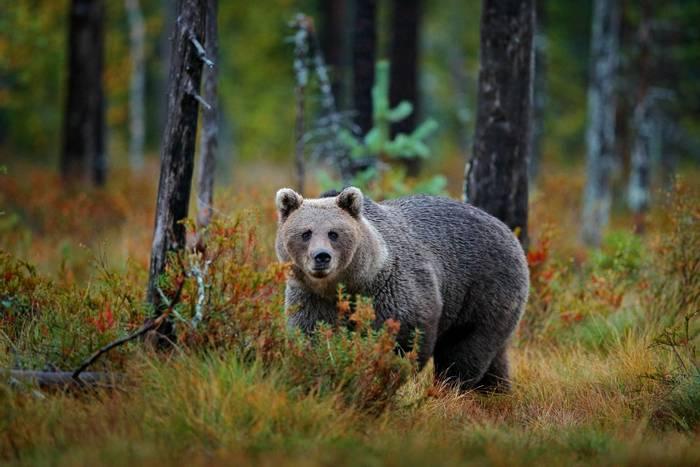 Brown bear, Romania shutterstock_1512274436.jpg