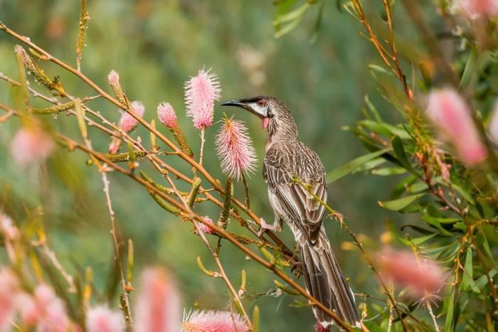 Red Wattlebird, Australia shutterstock_716016901.jpg