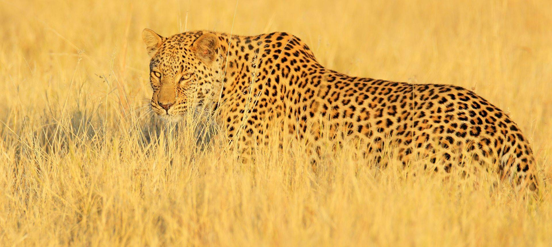 Leopard, Zambia Shutterstock 1111394156