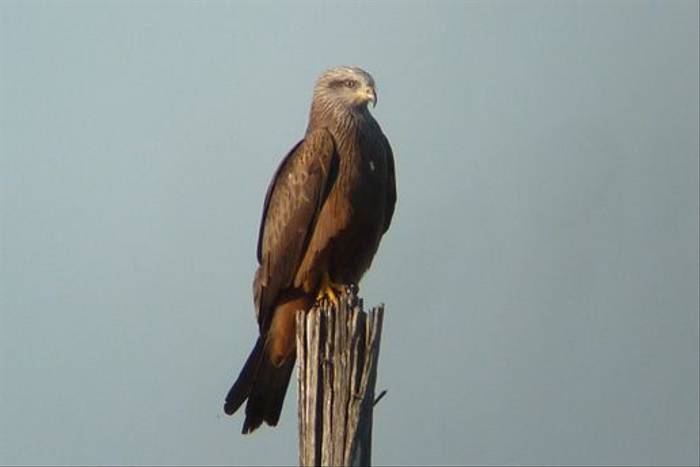 Black Kite (Byron Palacios)