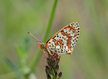 Armenia - Butterflies of the Caucasus