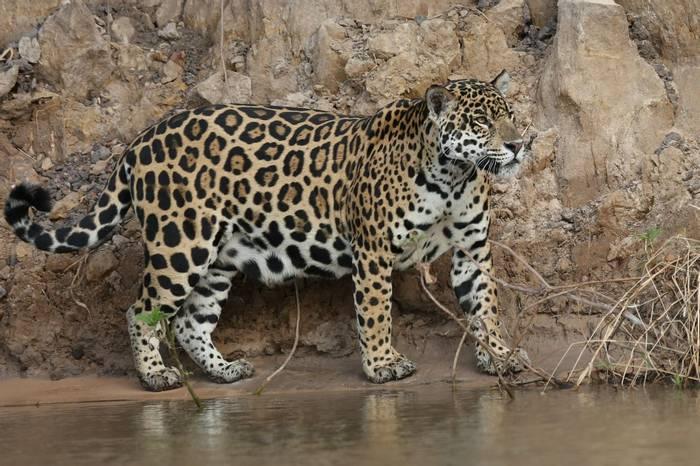 Jaguar (Pat Taylor)