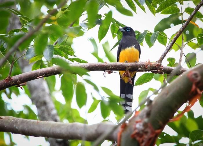 Black-headed Trogon, Belize shutterstock_242791864.jpg