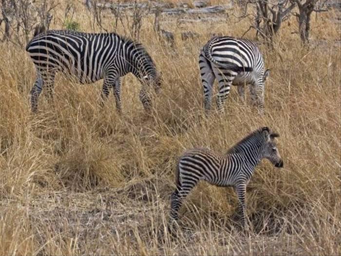 Zebras (Ron Foukes)
