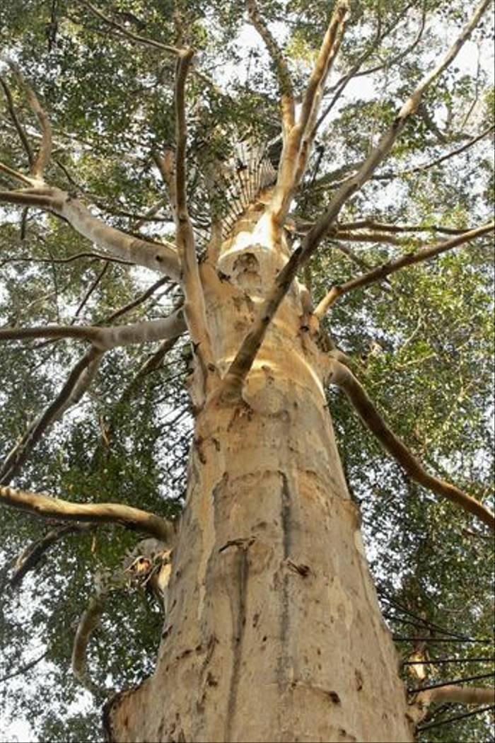 The Gloucester Tree, Pemberton (Peter Taylor)