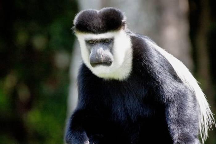 Guereza Colobus Monkey (Dani Free)