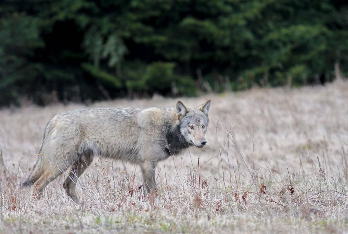 Wolf (Jan Kelchtermans)