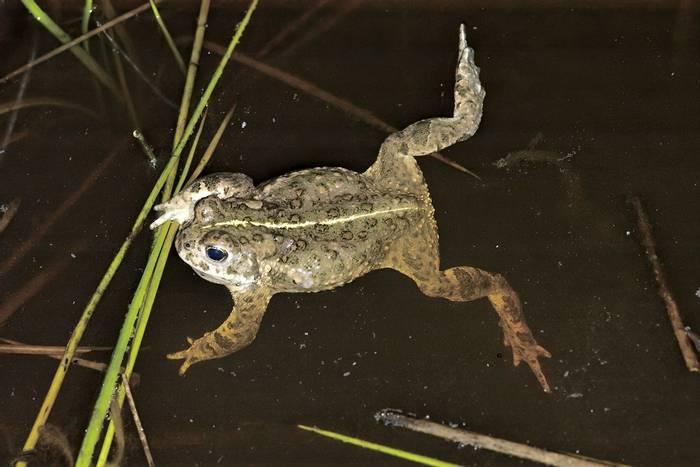 Natterjack Toad - Dr Kevin Elsby FRPS