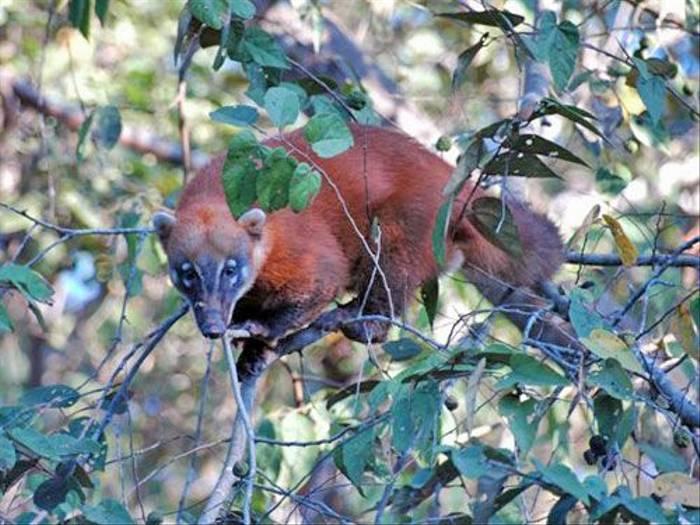 South American Coati (Gerald Broddelez)