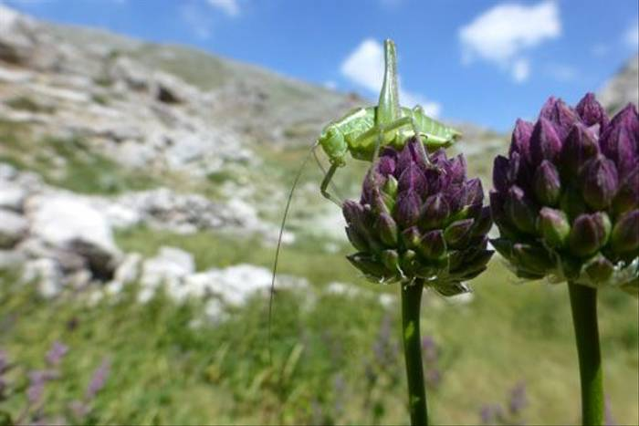 Grasshopper on allium (Toby Abrehart)