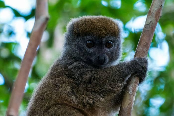 Ranomafana Grey Bamboo Lemur, Madagascar shutterstock_1635545047.jpg