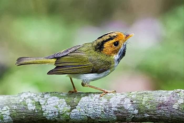 Rufous Faced Warbler (Richard Foster)