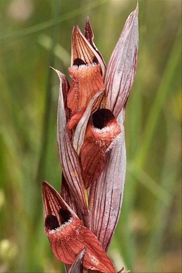 Serapias vomeraceae (Andrew Cleave)