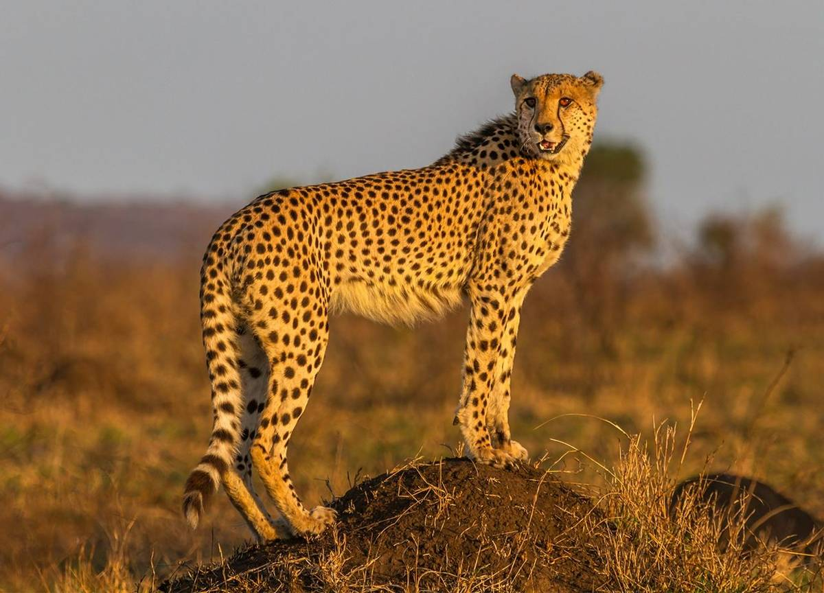 Cheetah, Kruger, South Africa Shutterstock 227350321