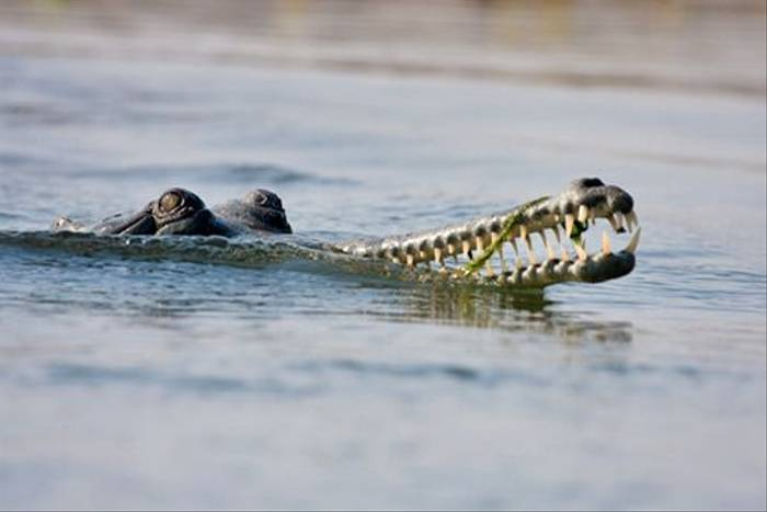 Gharial (Julian Thomas)