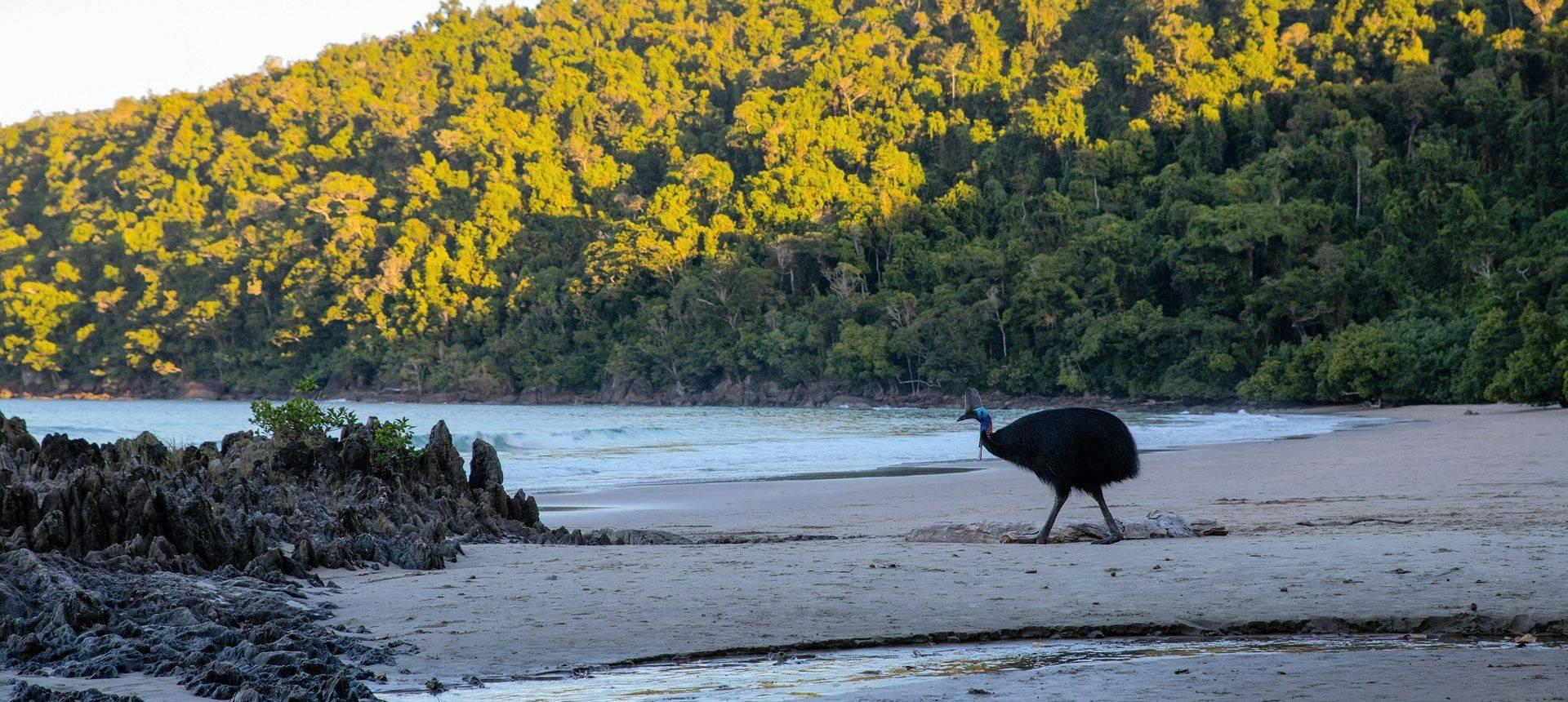 Southern Cassowary, Australia Shutterstock 1173043753
