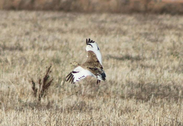 Little Bustard  (Tom Mabbett)