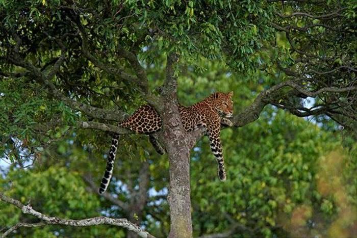 Leopard (Bret Charman)