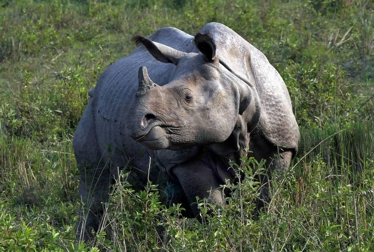 Indian Rhino (Clive Pickton)