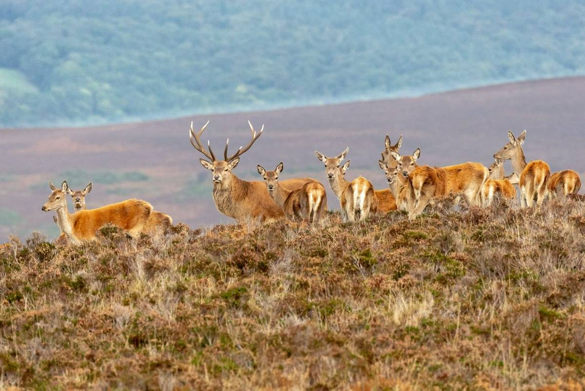 Exmoor Deer AdobeStock_228101125.jpeg