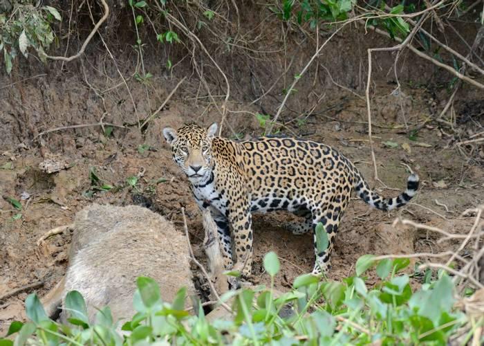 Jaguar (Stephen Woodham)