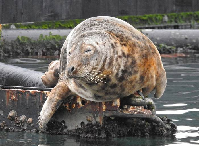 Grey Seal (Mike Langman).jpg