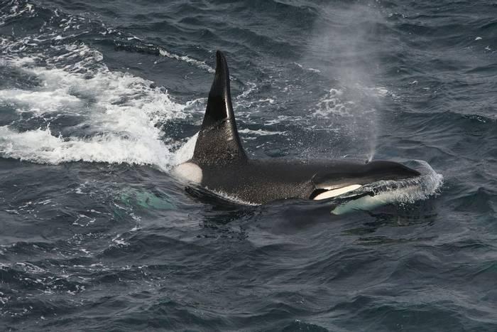 Orca, Scotland shutterstock_1352868575.jpg