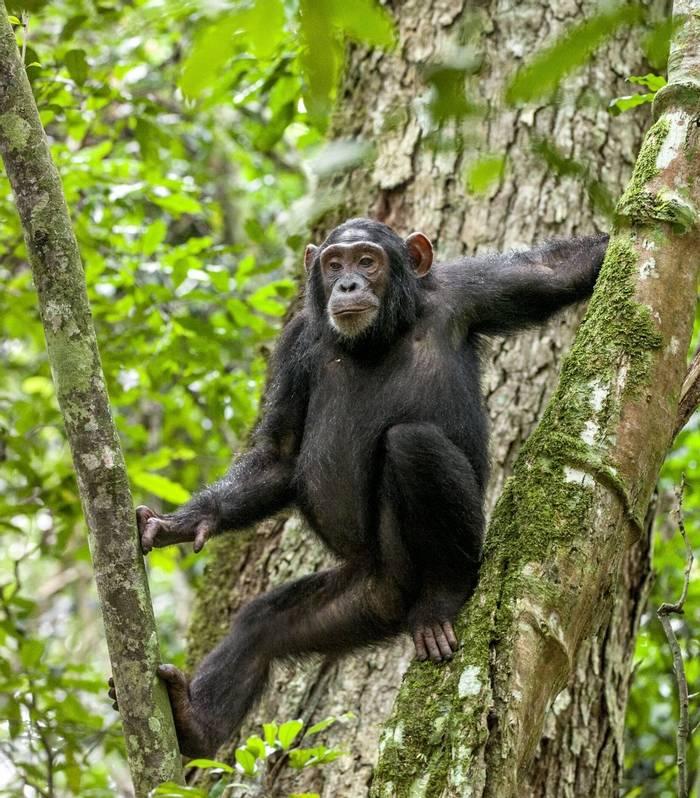Chimpanzee, Uganda Shutterstock 410991307
