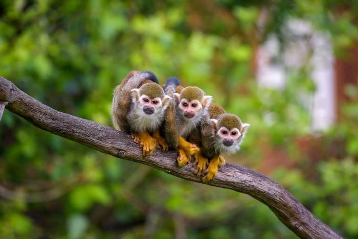 Squirrel Monkeys, Amazon shutterstock_1559683682.jpg