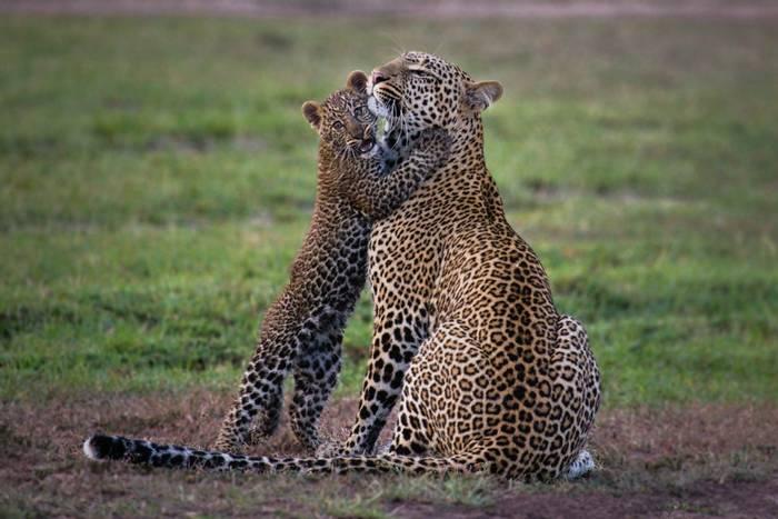 Leopard mother and cub in the Maasai Mara, Kenya. November 2014.