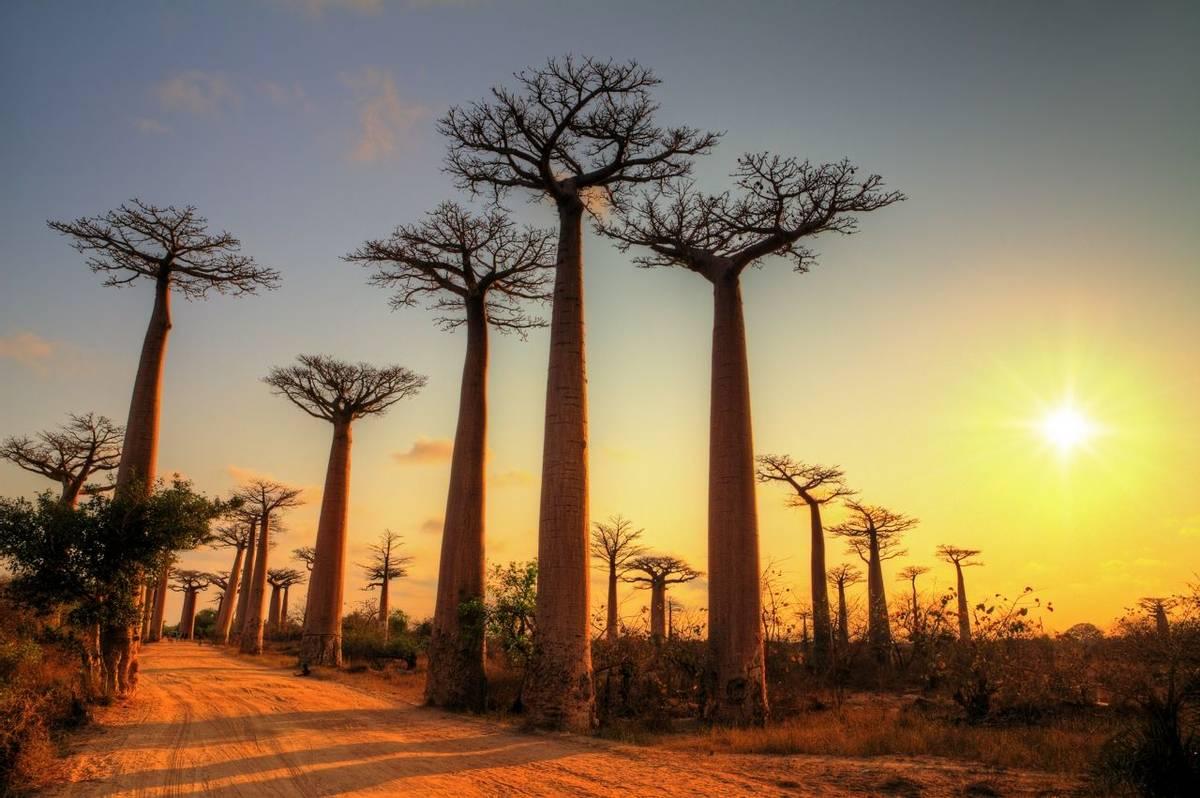 Baobab trees Madagascar shutterstock_282321194.jpg