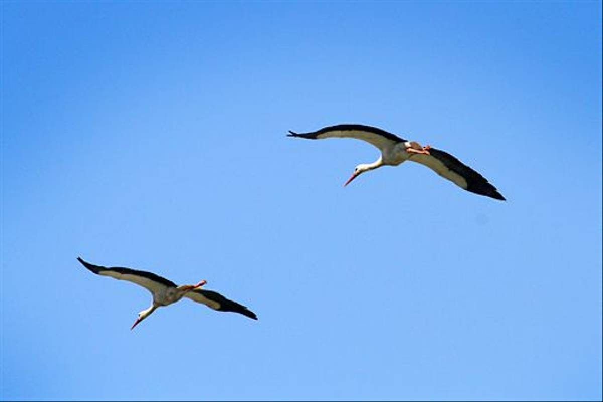White Storks in flight (Ken Williams)