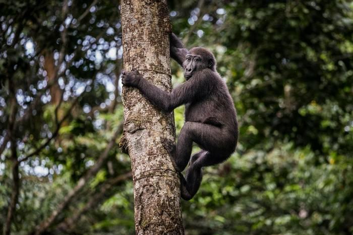 Western Lowland Gorilla (Scott Ramsey)