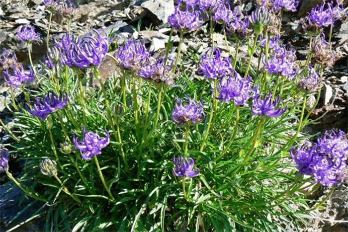 Globe-headed Rampion, Phyteuma hemisphaericum (Mark Galliott)