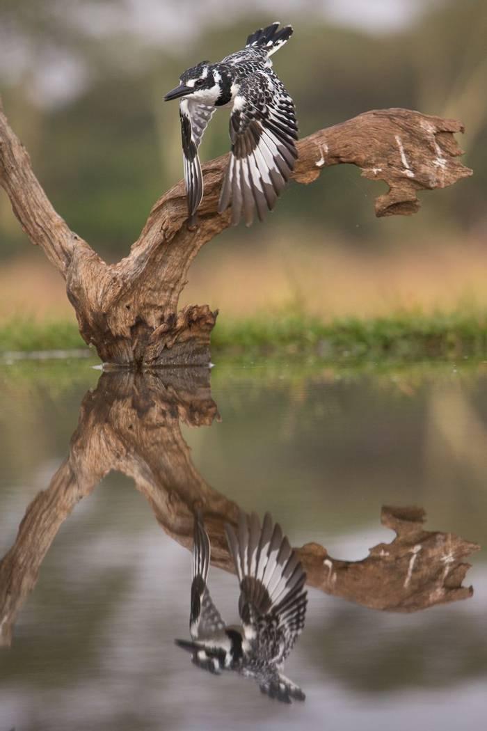 Pied Kingfisher (Jonathan Lewis)
