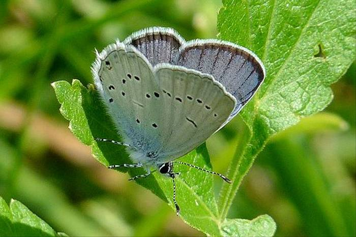 Eastern Short-tailed Blue (David Ferguson)