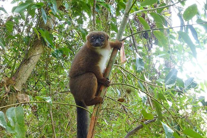 Red-bellied Lemur (Kerrie Porteous)
