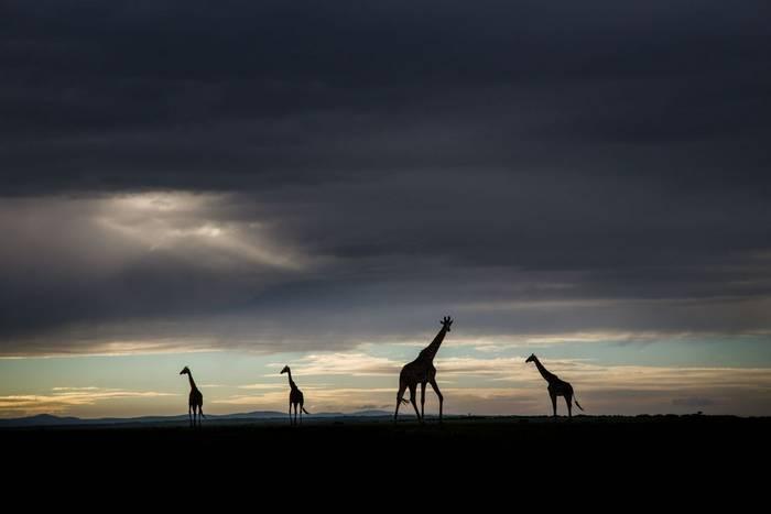 Masai Giraffes (John Haskew).jpg