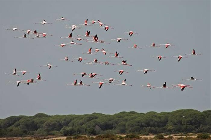 Greater Flamingos (David Morris)