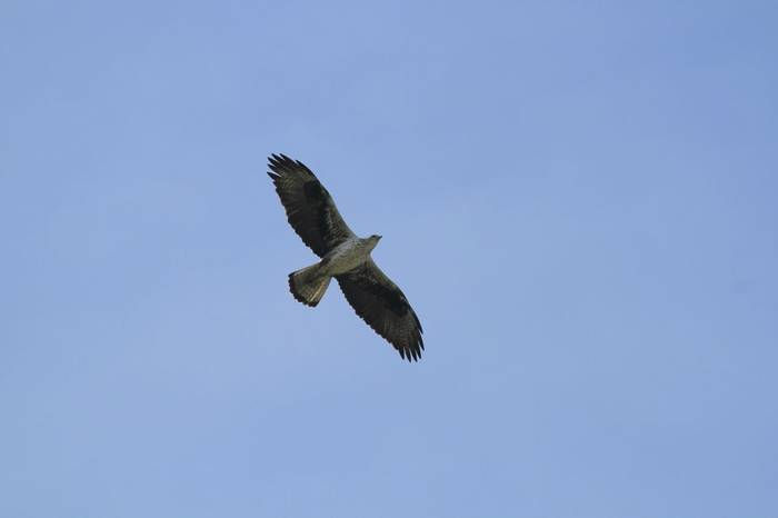 Bonelli'S Eagle Shutterstock 651311422