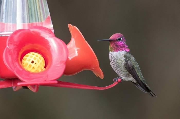 Anna's Hummingbird (Chris Hutchinson)